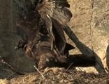Bartgeier Jungvogel im Nest