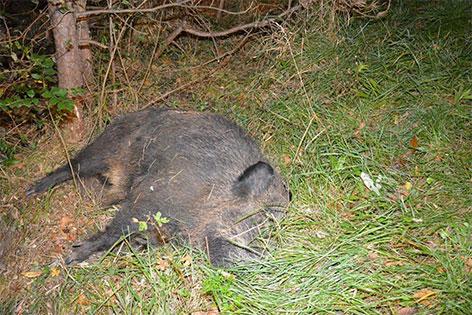 Totes Wildschwein im Straßengraben