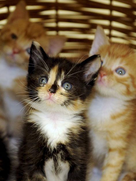 Drei junge Katzen im Korb