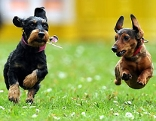 Zwei laufende junge Hunde