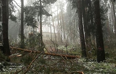 Umgestürzte Bäume im Wald