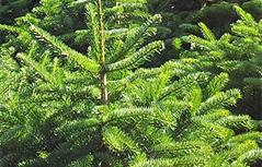 DS pridelovalci drevesc božično drevo Tomažej kmetijska gozd smreka smrekce