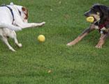 Zwei Hunde spielen mit Bällen