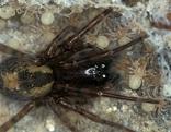 Finsterspinne bei der Brutpflege mit Jungspinnen
