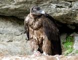 Bartgeier im Nationalpark Hohe Tauern
