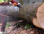Forstarbeiter schneidet mit Motorsäge einen Baum