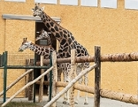Giraffen im Übergangsquartier in der Maria-Theresien-Kaserne
