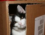 Katze schaut aus einem Karton