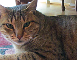 Vermisste ägyptische Mau-Katze