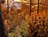 Cannabis Anzucht