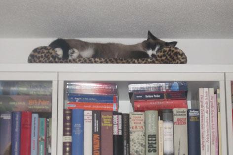 Katze liegt auf dem Bücherregal