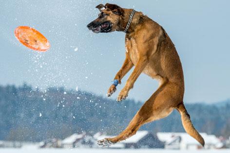 Hund springt nach Frisbee-Scheibe