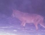 Wolf ging im Böhmerwald in Fotofalle