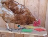 Huhn mit verschieden farbigen Zetteln vor sich