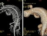 CT-Darstellungen vom Salomonenskink zur honorarfreien Verwendung