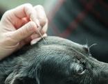 Akupunkturnadel wird in Hundekopf gesetzt