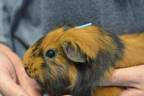 Meerschweinchen mit Akupunkturnadel am Kopf