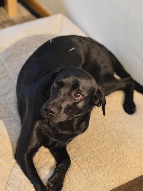 Schwarzer Hund auf einem Handtuch, im Rücken sieht man Akupunkturnadeln