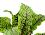 Sauerampfer Blätter