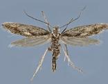 Eine der neu entdeckten Falterarten, die Kessleria dimorpha