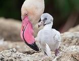 Flamingo mit Küken im Tiergarten Schönbrunn