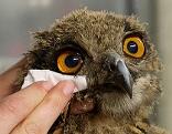 Junger Uhu in Augenbehandlung