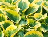 Hosta mit panaschierten Blättern