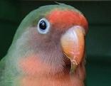 Papagei Vogel Suche Tier