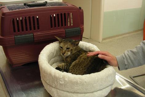 Katze im weichen Katzenbett, im Hintergrund eine Transportbox