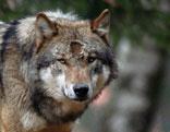 Kopf eines Wolfes