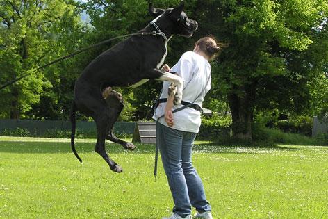 Dogge springt Frau an