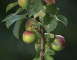 Apfelsäulenbäumchen