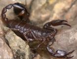 Heimische Skorpionarten