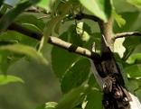 Sommerschnitt beim Obstbaum