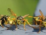 Wespen nur für ON Kärnten freigegeben