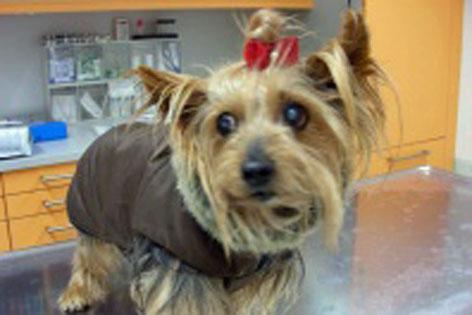 Kleiner Hund in einer Tierarztpraxis auf dem Untersuchungstisch.