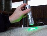Grünes Licht auf Pferderücken in einer Farblicht-Therapie