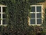 Efeu Hausmauer Schloss