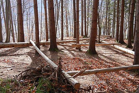 Balancierstämme im Wald