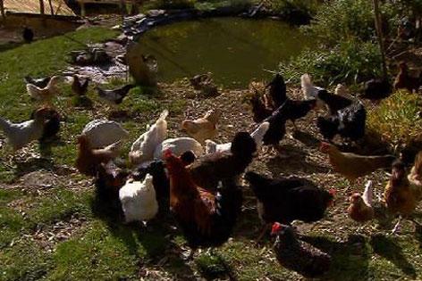 Hühnergruppe im großen Gehege
