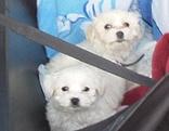 Verkauf von Hundewelpen gestoppt - junge Malteser an Tankstelle aus dem Verkehr gezogen