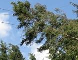 Umgestürzte Bäume hängen in Stromleitung
