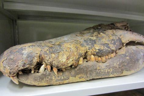 Mumifizierter Krokodilschädel