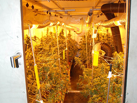 Marihuana-Plantagen ausgehoben