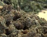 Getrocknete Cannabis-Blüten