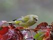 Zwei Grünfinken und ein Kleiber an einem Futterhäuschen