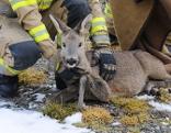 Feuerwehrleute retten Reh aus Leitnerbach in Fügen