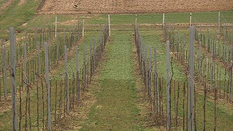Uhudler-Weingarten