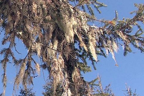 Flechten auf Baum (Lärche)