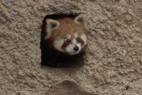 Pandaweibchen Xia